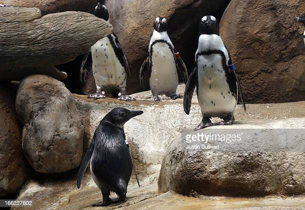 Two month-old African penguin chick stands with adult penguins in an exhibit on April 10, 2013 at the California Academy of Sciences in San...