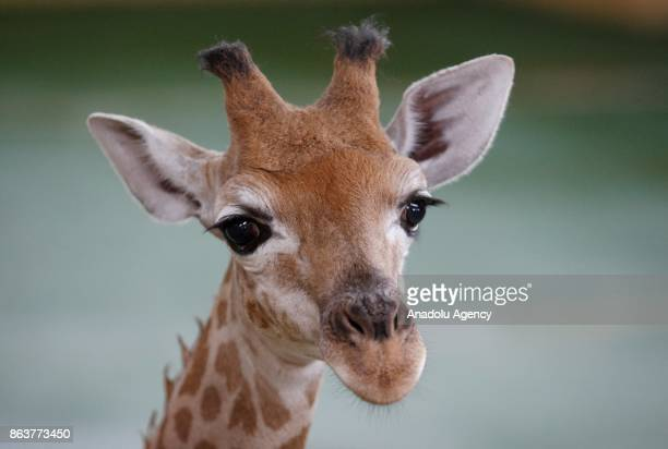 A two months old giraffe named Vito is seen at XII Months zoo in Demidov village of Kiev Ukraine on October 20 2017 Vito's parents were brought from...