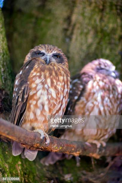 Two morepork (Ninox novaeseelandiae), also called the Tasmanian spotted owl, sleeping in the shade of a tall tree.