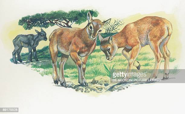 Two mouflon lambs in the forest