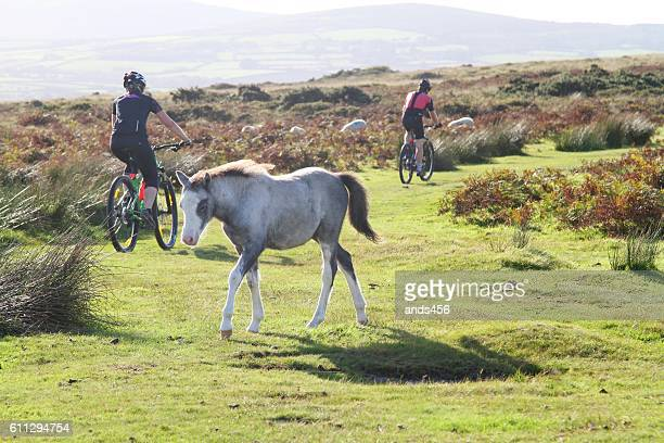 two mountain bikers and foal on gower moorland ,wales - gower peninsula stock photos and pictures