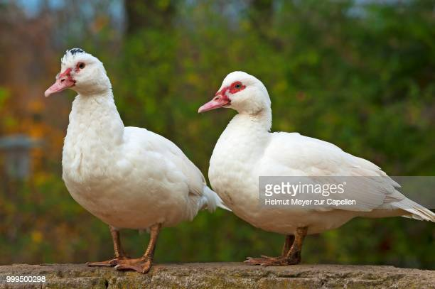 two muscovy ducks (cairina moschata) on a wall, bavaria, germany - muscovy duck stock pictures, royalty-free photos & images