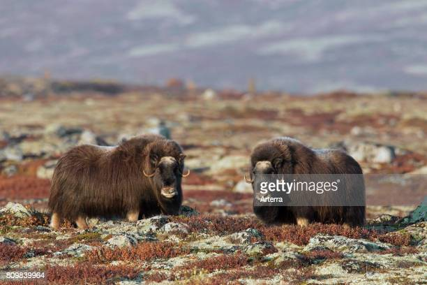 Two muskoxen cows on the tundra in autumn Dovrefjell_Sunndalsfjella National Park Norway