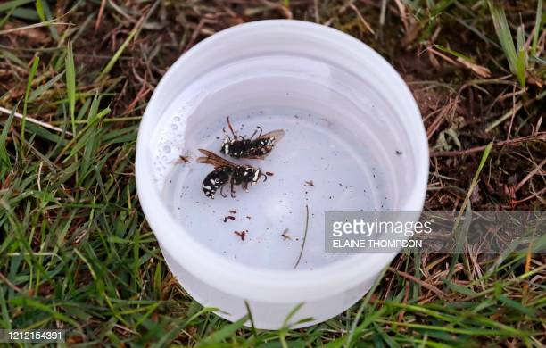 Two native baldfaced hornets sit in a collection container after being found in a trap set in an effort to locate the Asian giant hornet on May 7 in...