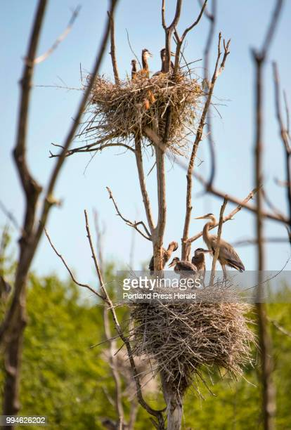Two nests of great blur heron occupy one tree in a central Maine rookery The location one of the colonies being watched as part of now twoyearlong...