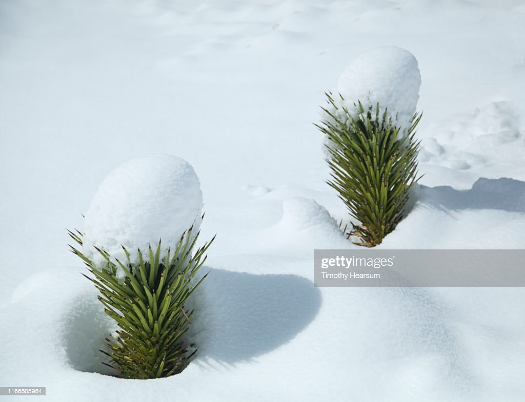 Two new Joshua Tree sprouts with caps of snow after a snowstorm : Stock Photo