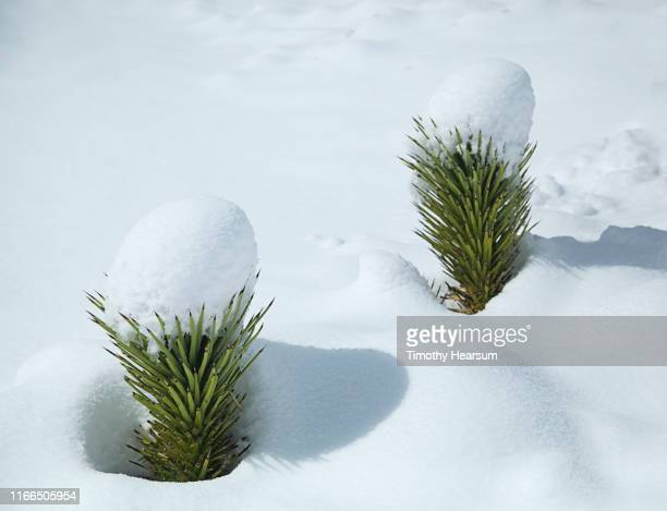 two new joshua tree sprouts with caps of snow after a snowstorm - timothy hearsum stock pictures, royalty-free photos & images