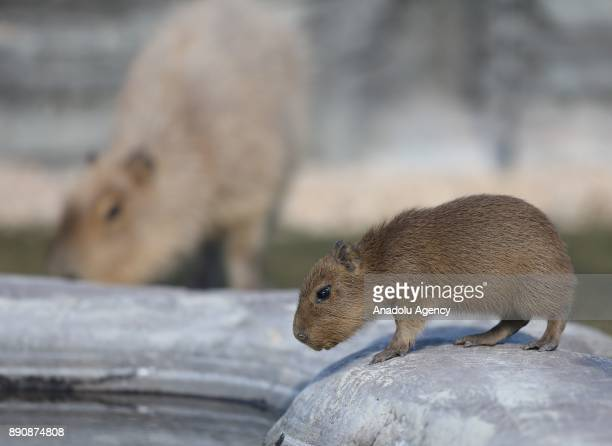 Two newborn capybaras the largest living rodent in the world are seen as they take a walk with their fathers at Eskisehir Zoo on December 12 2017 in...