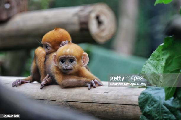 Two newborn Francois' langur twins meet public at Chimelong Safari Park on May 13 2018 in Guangzhou Guangdong Province of China The Francois' langur...