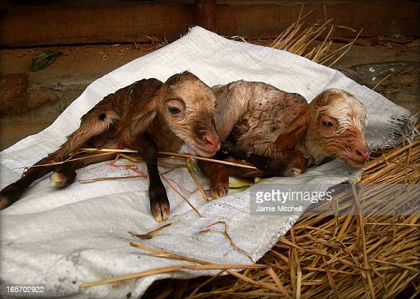 CONTENT] Two newborn lambs seconds after being born in the village of Sirutar Nepal