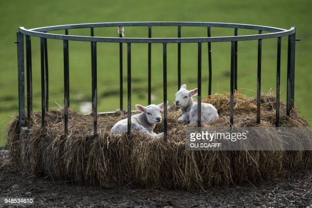 Two newborn lambs sit in a bale feeder on Pip Simpson's farm on Wansfell hill above Troutbeck village in the Lake District National Park near the...