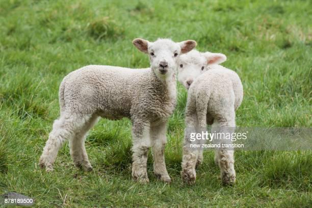 two newborn lambs standing in green pasture - agnellino foto e immagini stock
