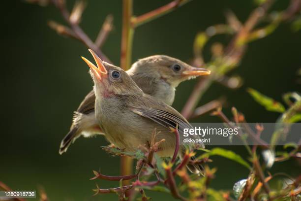 two nightingales sitting on a branch, indonesia - animal call stock pictures, royalty-free photos & images