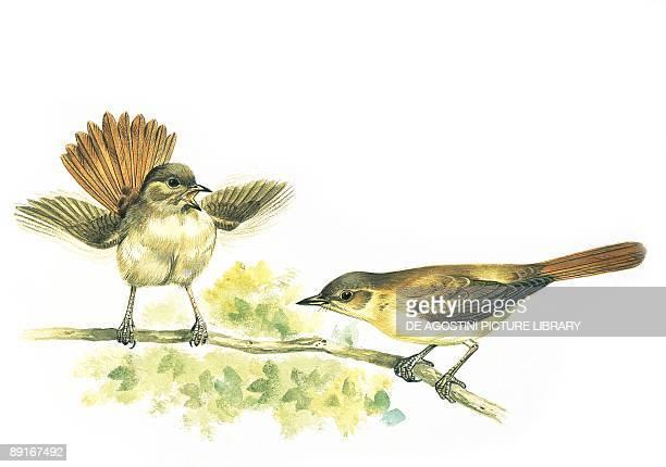 Two Nightingales sitting on branch illustration