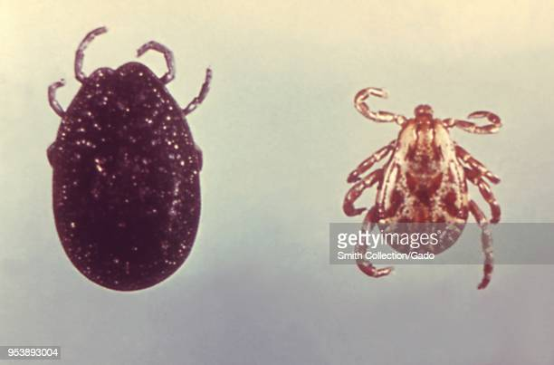 Two North American ticks soft tick and hard tick carriers of the Lyme disease 1975 Image courtesy Centers for Disease Control