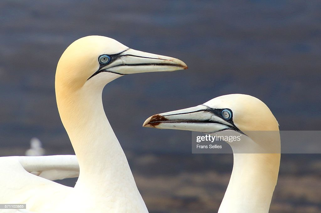 Two Northern Gannets on Helgoland, Germany : Stock Photo