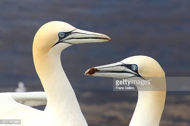two northern gannets on helgoland, germany - frans sellies stockfoto's en -beelden