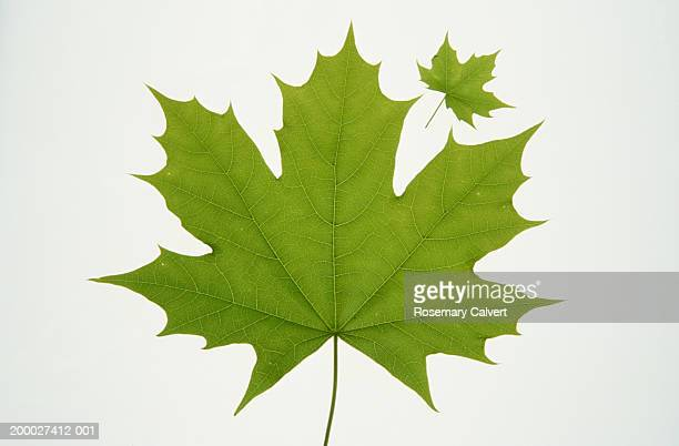 Two Norwegian maple leaves, one large and one small, close-up