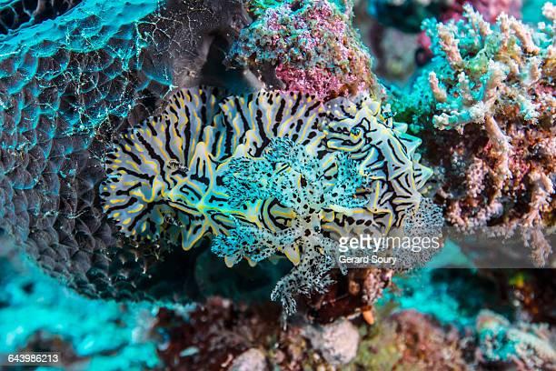 Two nudibranchs mating