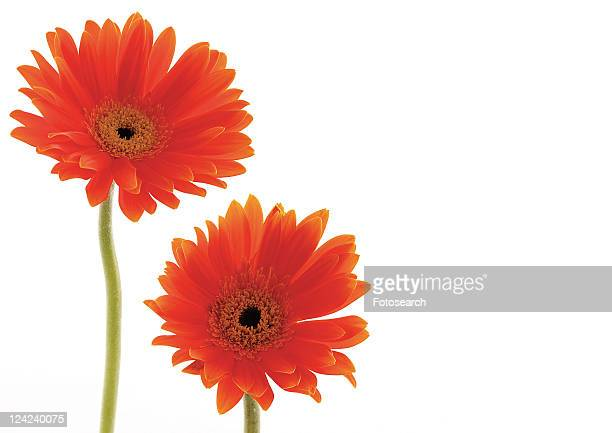 Two Objects, Flowers, Green, Daisy Flower, Gerbera Daisy, Vibrant Color