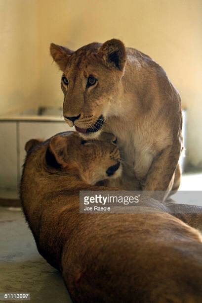 Two of nine lions that once belonged to Uday Hussein a son of former Iraqi dictator Saddam Hussein sit with each other in their new cage after being...