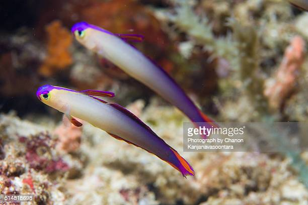 Two of purple fire goby fish.