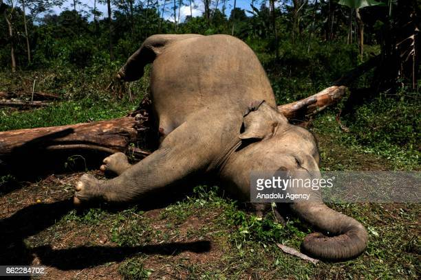 Two of Sumatran elephants are seen as veterinarians of Natural Resource Conservation Center Aceh perform autopsy of them which died because of...