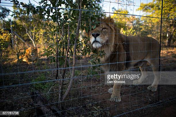 Two of the 33 Lions enjoys his new enclosure at the Emoya 'Big Cat Sanctuary' on May 02 2016 in Vaalwater South Africa A total of 33 former circus...