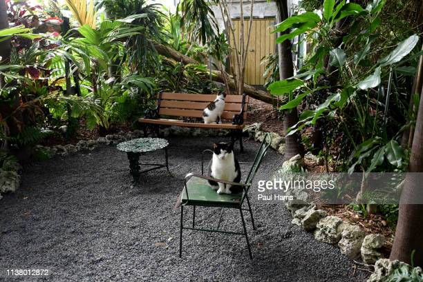 Two of the eighty polydactyl cats.which live in Ernest Hemingways Home and Museum which is on Whitehead Street in the heart of Old Town Key West, it...