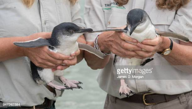 Two of the five Little Penguins before being released back into the water at Shelly Beach on April 17 2018 in Sydney Australia The five Little...