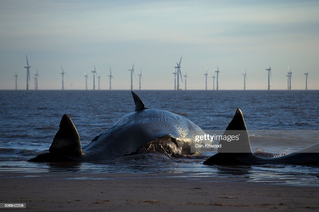 Two of the five Sperm Whales that were found washed ashore on beaches near Skegness over the weekend on January 25, 2016 in Skegness, England. The whales are thought to have been from the same pod as another animal that was found on Hunstanton beach in Norfolk on Friday.