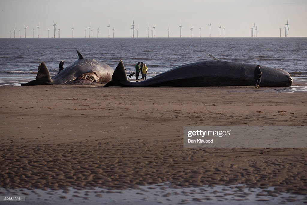 Sperm Whales Beached In Skegness : News Photo