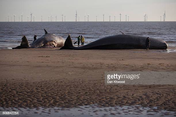 Two of the five Sperm Whales that were found washed ashore on beaches near Skegness over the weekend on January 25 2016 in Skegness England The...