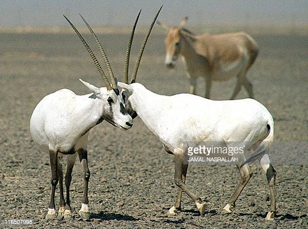 Two of the new generation of the Arabian Oryx whose legdendary beauty captivated the minds of Arab poets over 1000 years ago resting in the first...