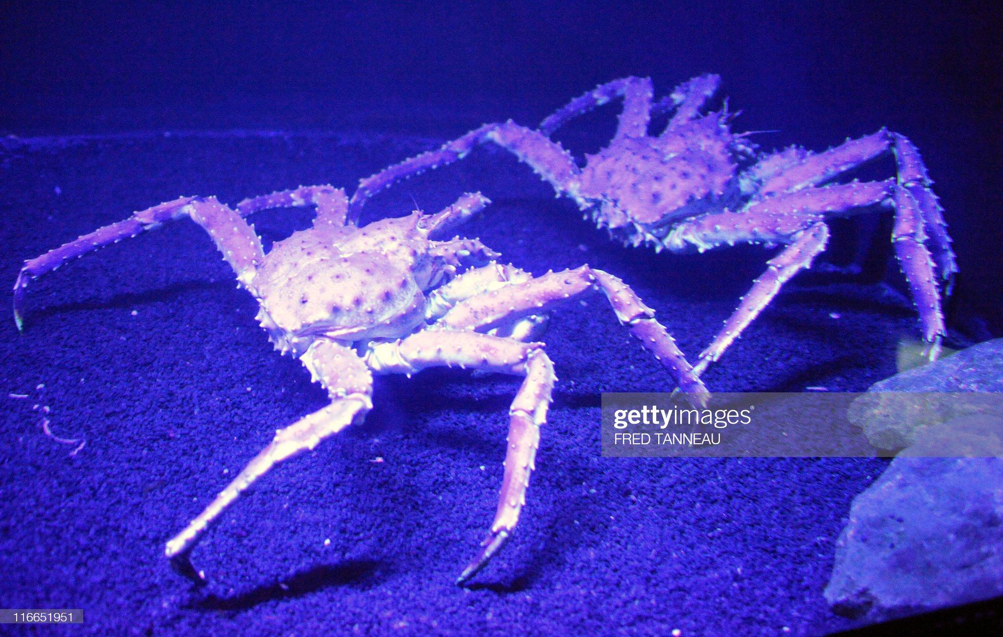 Two of the three Kamchatka crabs which j : Foto di attualità