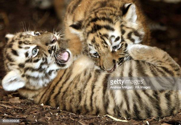 Two of the three new Amur tiger cubs as yet unnamed after they were born on May 11 at Highland Wildlife Park in Kingussie near Aviemore