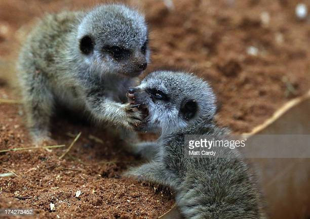 Two of the three recently arrived baby meerkats play together in their enclosure at Bristol Zoo Gardens on July 23 2013 in Bristol England The...