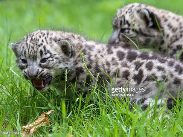 Two of the three snow leopard babies born 32 days ago walk carefully through the high grass during their first official presentation at the Wildpark...