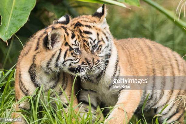 Two of the three Sumatran Tiger cubs are seen on display at Taronga Zoo on March 29 2019 in Sydney Australia The three Sumatran Tiger cubs were born...