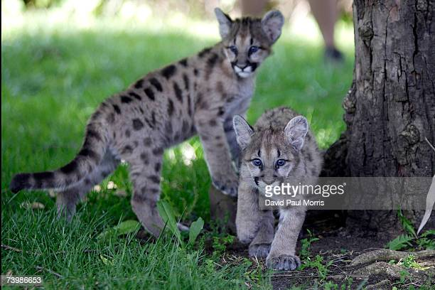 Two of three 11 month old cougar cubs play together at Six Flags Discovery Kingdom on April 26 2007 in Vallejo California The cougar cubs were given...