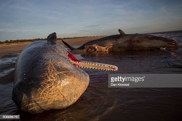 Two of three Sperm Whales which were found washed ashore near Skegness over the weekend on January 25 2016 in Skegness England The whales are thought...