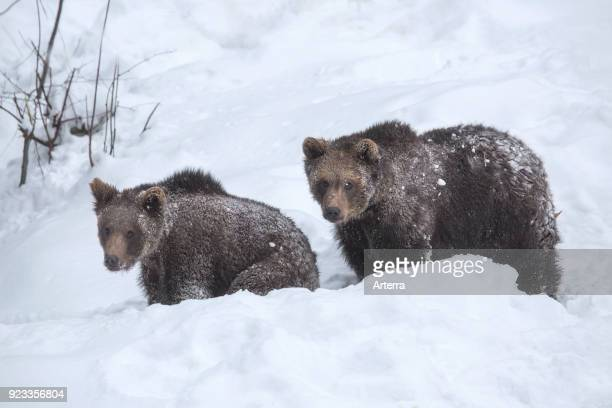 Two oneyear old brown bear cubs foraging in deep snow in winter