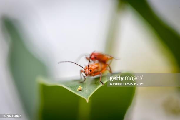 two orange grasshoppers on a leaf - tierpaarung stock-fotos und bilder