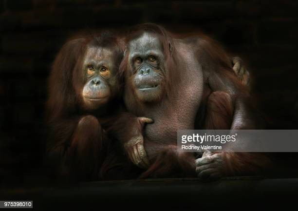 two orangutans, upton-by-chester, cheshire, england, uk - valentine monkey stock pictures, royalty-free photos & images