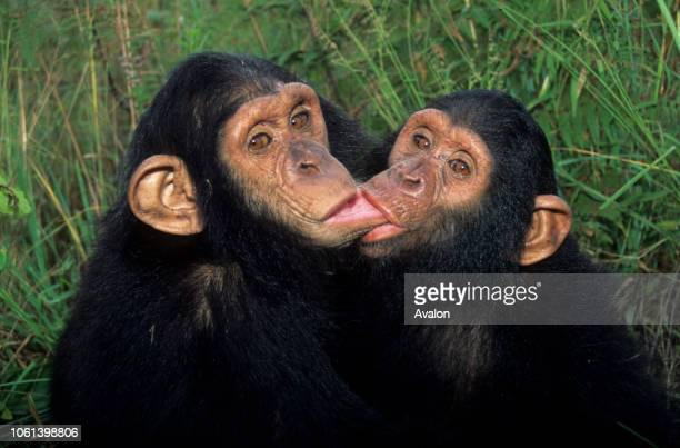 Two orphaned Chimpanzee at sanctuary in Zambia comforting each other with hug and Kisses Date 250608