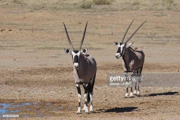 Two Oryx on the water hole