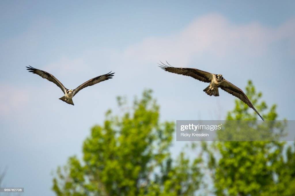 Two Osprey Flying Together : Stock-Foto