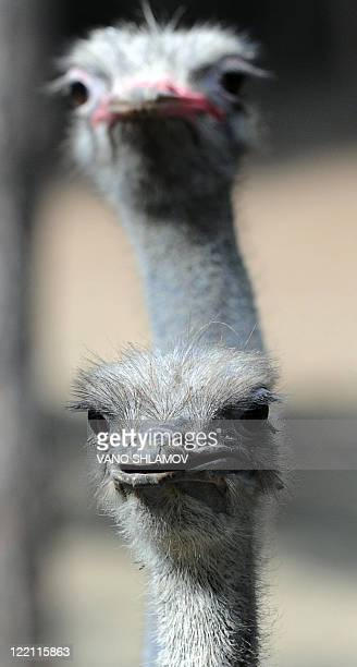 Two ostriches are seen in an open-air cage at the zoo in Tbilisi, on August 25, 2011. AFP PHOTO / VANO SHLAMOV
