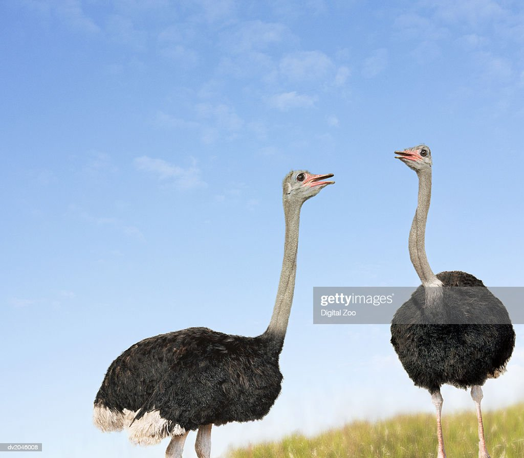 Two Ostriches Looking Face to Face : Stock Photo
