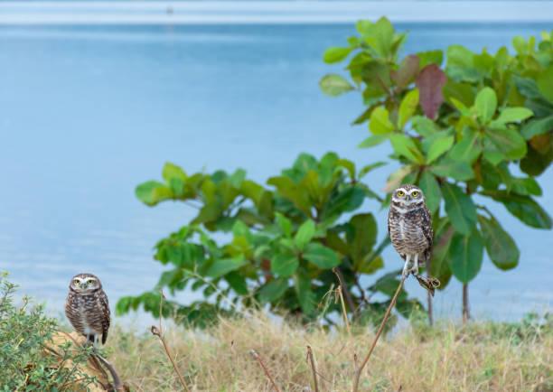 Two owls on the edge of the lagoon of Saquarema!